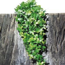 TerraPlanta Congo Efeu terráriumi növény  - 50cm