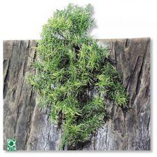 Terráriumi növény TerraPlanta Casuarina - 50 cm